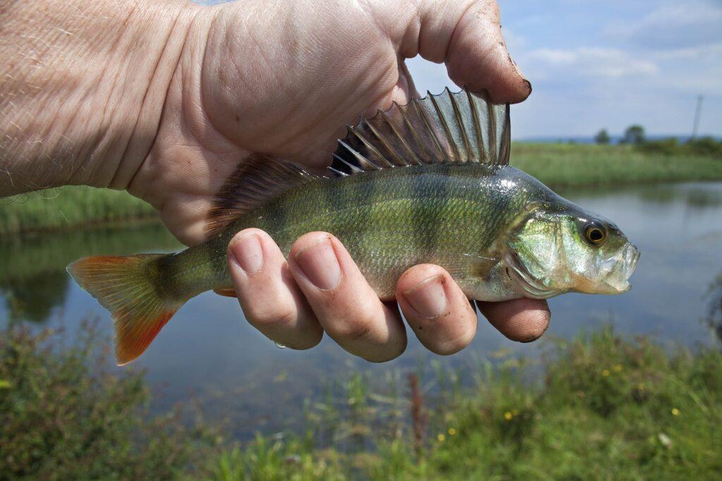 egli fish